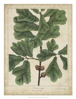 Oak Leaves & Acorns I Fine Art Print