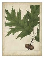 Oak Leaves & Acorns II Fine Art Print
