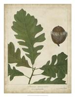 Oak Leaves & Acorns III Fine Art Print