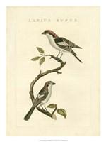 Nozeman Birds I Fine Art Print