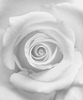 The Rose Fine Art Print