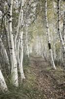 Birch Trail Fine Art Print