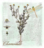 Chamomile Herb Fine Art Print