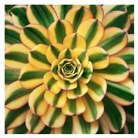 Striped Succulent Fine Art Print