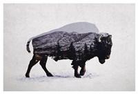 The American Bison Fine Art Print