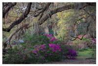Oaks and Azaleas Fine Art Print