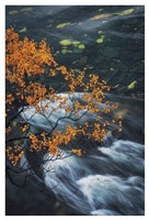 Abisko Autumn Birch Fine Art Print