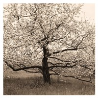 Apple Tree in Bloom Fine Art Print