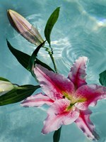 Floating Lilies 5 Fine Art Print