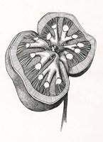 Kidney Fine Art Print