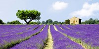 Lavender Fields, France Fine Art Print