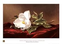 Magnolia Grandiflora Fine Art Print