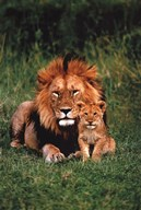 Lion And Baby Art