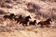 Mustang Horses Running, Wyoming Art
