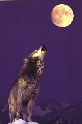 Framed Gray Wolf Howling At Moon Print