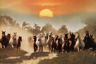 Wild Horses  Wall Poster
