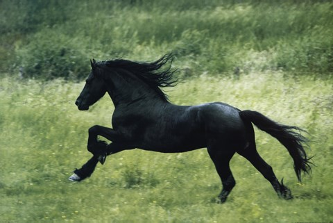 Framed Black Horse Running Print