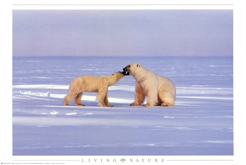 Framed Polar Bear Courting Print