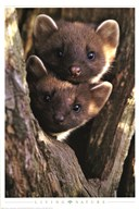 Pine Martens