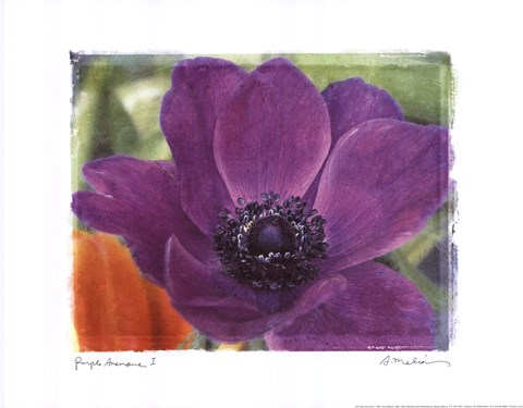 Framed Purple Anemones I Print