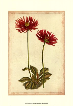 Framed Curtis Blooms in Red II Print