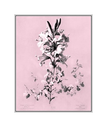 Framed Lilium on Pink Print