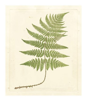 Framed Soft Prickley Shield Fern Print