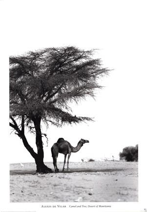 Framed Camel and Tree, Desert of Mauritania Print