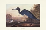 Little Blue Heron  Fine Art Print