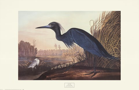 Framed Little Blue Heron Print