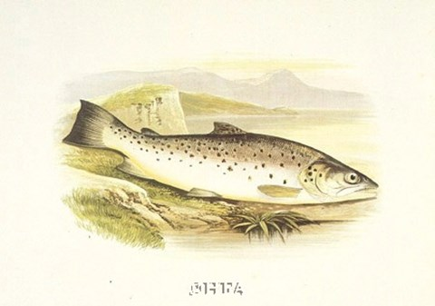 Framed Great Lake Trout Print