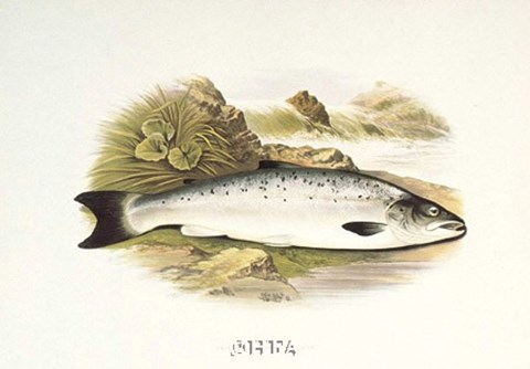 Framed Grilse or Young Salmon Print