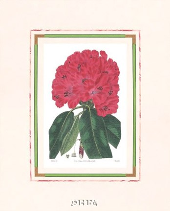 Framed Rhododendron No. 1 Print