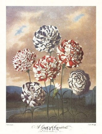 Framed Group of Carnations Print