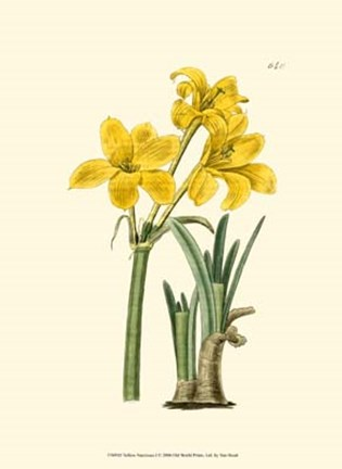 Framed Yellow Narcissus I Print
