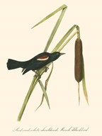 Audubon's Blackbird Art