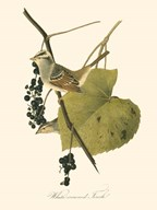 Audubon's Finch Art