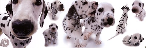 Framed Dogs - Dalmatians Print