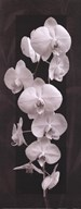 Orchid Opulence II