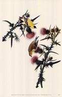 American Goldfinch  Fine Art Print