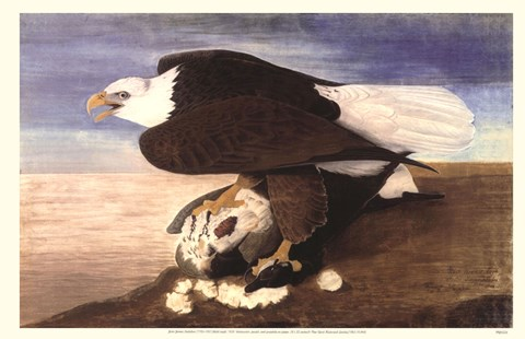Framed Bald Eagle W Goose Print
