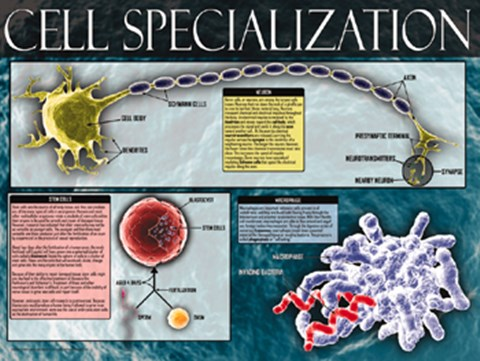 Cell Specialization Fine Art Print by Unknown at FulcrumGallery.com