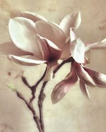 Pink Magnolia II