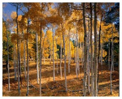 Framed Autumn Aspens Print