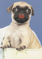 Birthday Funny Pug Dog Art