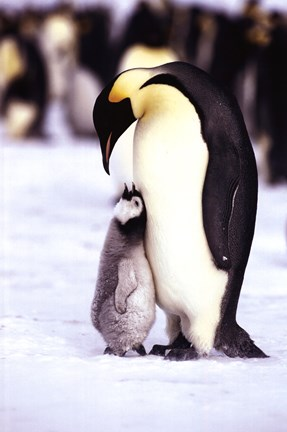 Framed Penguin - Maternal Moment Print