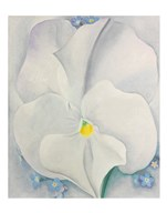 White Pansy Art