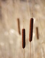 Cattails Art