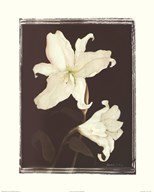 White Lilies in Chocolate  Fine Art Print