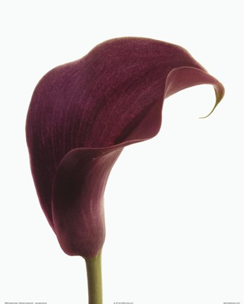 Framed Purple Calla Lily Print